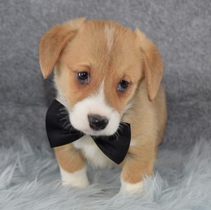 Charger Pembroke Welsh Corgi puppy for sale in CT