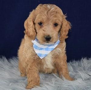 Gazpacho Cockapoo puppy for sale in MD
