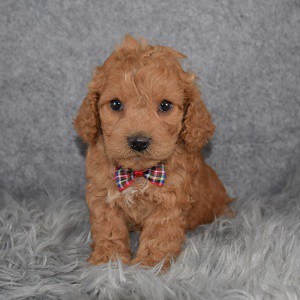 Cockapoo Puppy For Sale – Goose, Male – Deposit Only