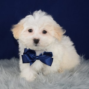MaltaApsopoo Puppy For Sale – Hart, Male – Deposit Only