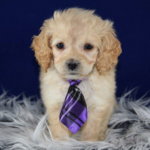 Knight Cockapoo puppy for sale in MD
