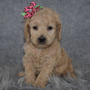 Cockapoo Puppy For Sale – Pixie, Female – Deposit Only