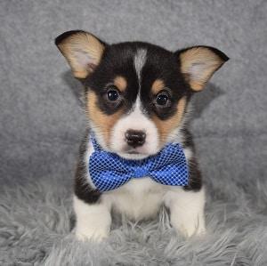 Pembroke Welsh Corgi Puppy For Sale – Skywalker, Male – Deposit Only