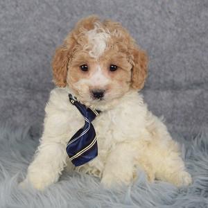 Xavier Cockapoo puppy for sale in VA