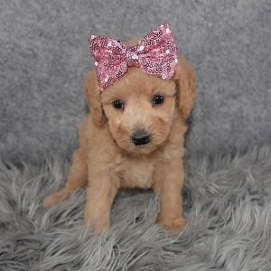 Bichonpoo Puppy For Sale – Alaska, Female – Deposit Only