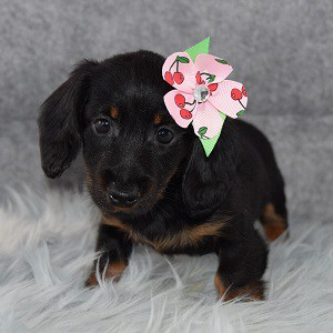 Ariel Dachshund puppy for sale in NJ