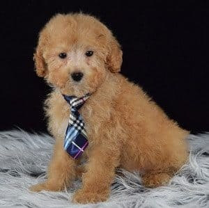 Bichonpoo puppy for sale in RI