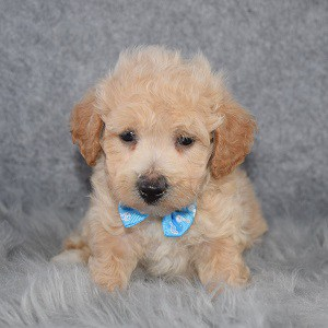 Bichonpoo Puppy For Sale – Canyon, Male – Deposit Only