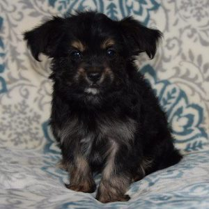 Chorkie puppy for sale in PA