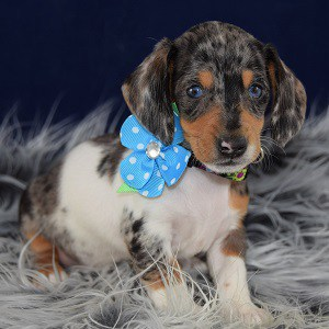 Contessa Dachshund Puppy For Sale In Va Puppies And Pet Supplies