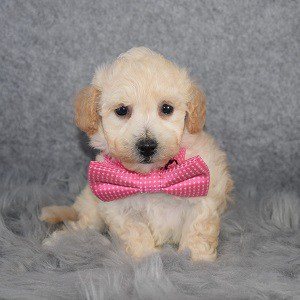 Bichonpoo Puppy For Sale – Forest, Male – Deposit Only