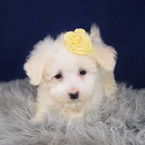 Bichonpoo Puppy For Sale – Gypsy, Female – Deposit Only