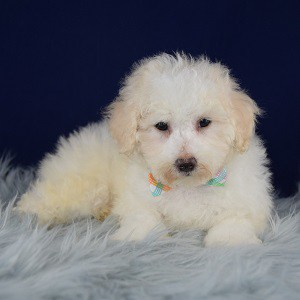 Jimmy Bichonpoo puppy for sale in VA