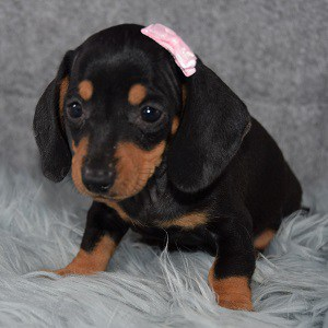 Ketchup Dachshund puppy for sale in NJ
