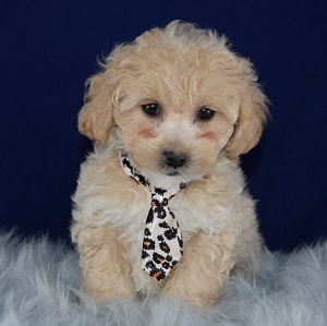 McAllister Bichonpoo puppy for sale in VA