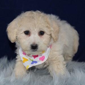 McKella Bichonpoo puppy for sale in MA