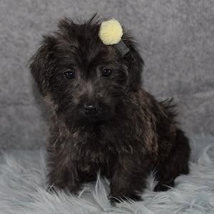 Saki Westiepoo puppy for sale in DC