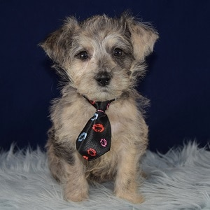 Sushi Westiepoo puppy for sale in PA
