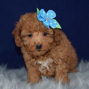 Sylvie Bichonpoo puppy for sale in MA