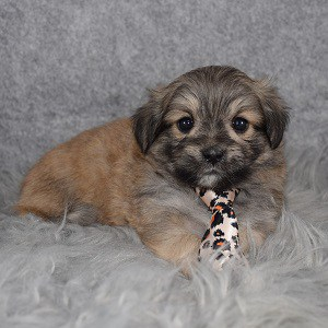 TeddyPom Puppy For Sale – Tad, Male – Deposit Only