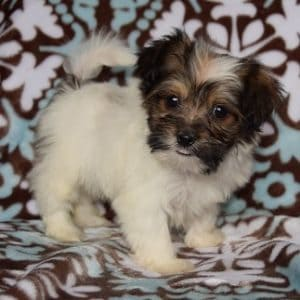 Teddypom puppy for sale in MD