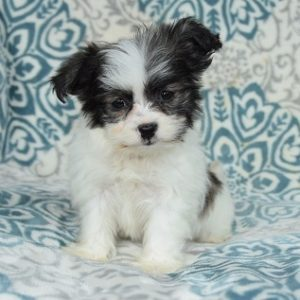 Teddypom puppy for sale in PA