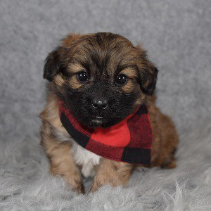 TeddyPom Puppy For Sale – Todd, Male – Deposit Only