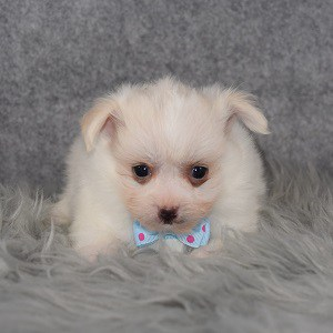 Maltipom Puppy For Sale – Tweety, Male – Deposit Only