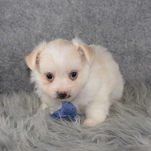 Maltipom Puppy For Sale – Twiddy, Male – Deposit Only