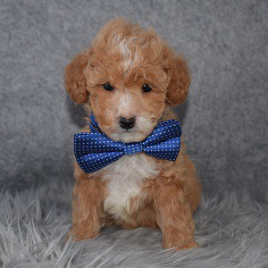 Bichonpoo Puppy For Sale – Vinn, Male – Deposit Only