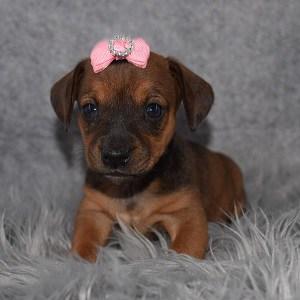 Jackshund Puppy For Sale – Athena, Female – Deposit Only