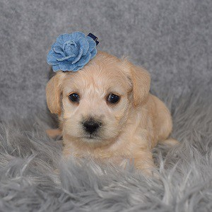 Schnoodle Puppy For Sale – Bellatrix, Female – Deposit Only