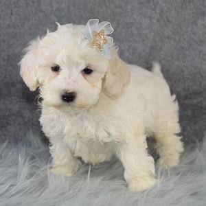Essie Maltipoo puppy for sale in MA