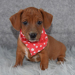Hawthorne Jackshund puppy for sale in NJ