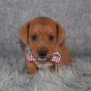 Jackshund Puppy For Sale – Hendrix, Male – Deposit Only