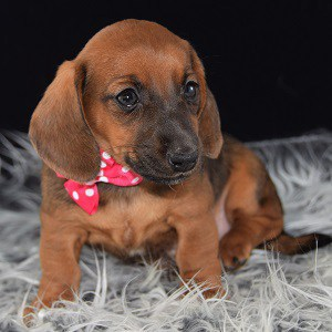 Jackshund puppy for sale in PA