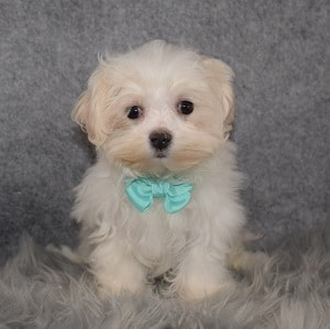 Maltese Puppy For Sale – Justin, Male – Deposit Only