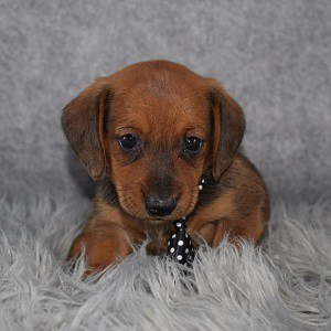 Jackshund Puppy For Sale – Morrison, Male – Deposit Only