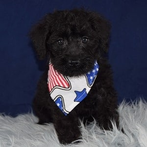 Mudge Schnoodle puppy for sale in NJ