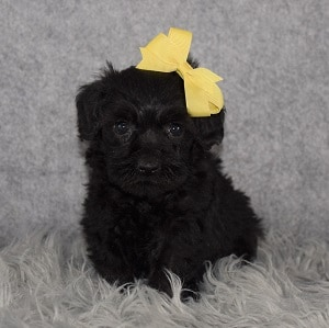 Schnoodle Puppy For Sale – Ro, Female – Deposit Only