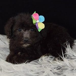 Schnoodle puppy for sale in DC