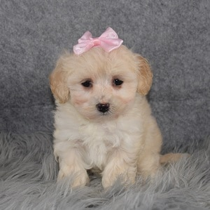 Maltipoo Puppy For Sale – Slippers, Female – Deposit Only