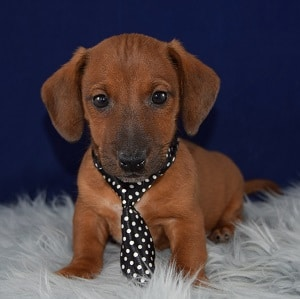 Stoker Jackshund puppy for sale in PA