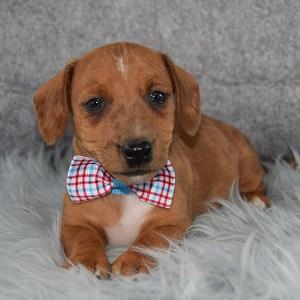 Tolstoy Jackshund puppy for sale in WV