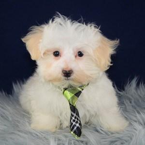 Viggo Maltese puppy for sale in CT