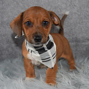 Jackshund Puppy For Sale – Wally, Male – Deposit Only