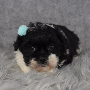 Teddypoo Puppy For Sale – Alice, Female – Deposit Only
