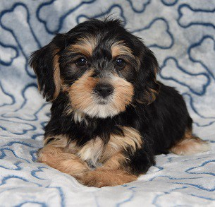 Corkiepoo puppy for sale in PA