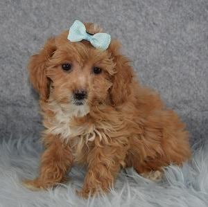 Daffodil Teddypoo puppy for sale in NJ