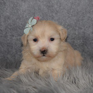 Maltipoo Puppy For Sale – Daisy, Female – Deposit Only
